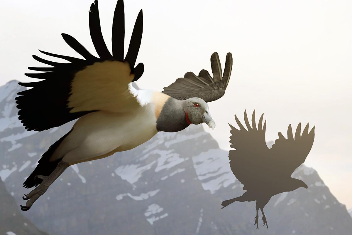 Argentavis versus eagle