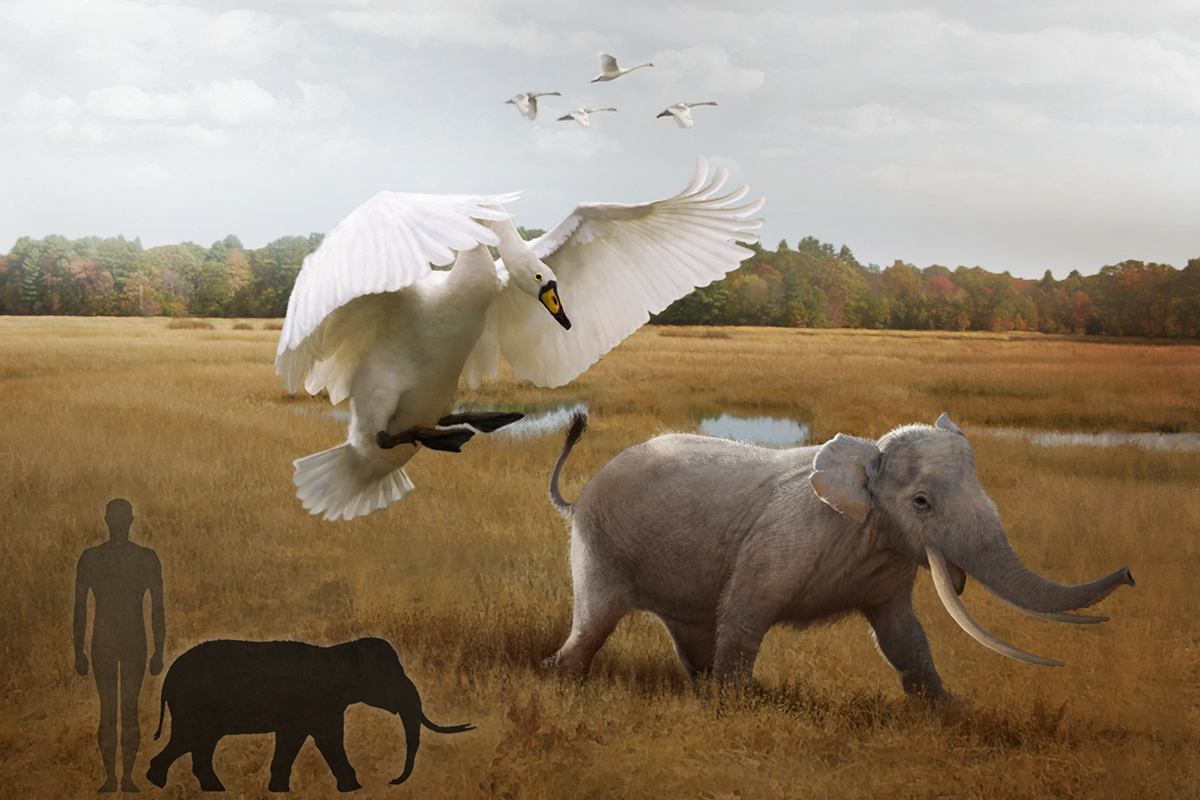 Swan versus elephant