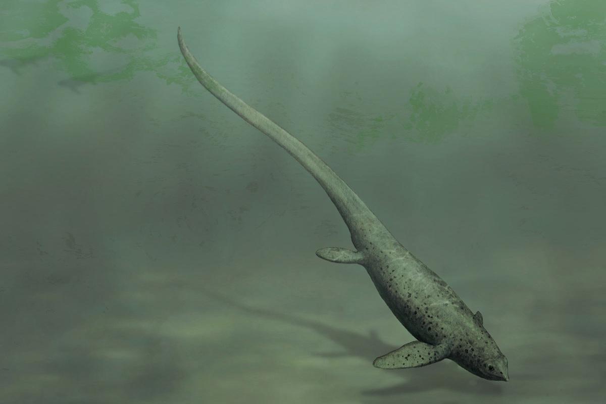 Sclerocormus parviceps
