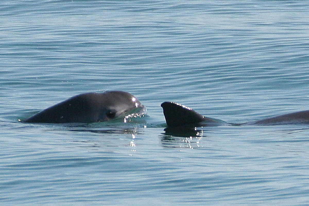 Two vaquitas in the wild