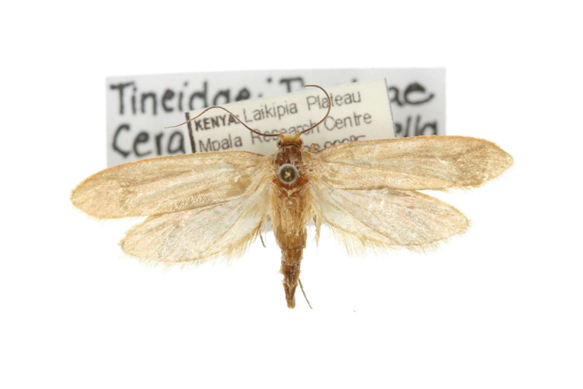Ceratophaga vastella