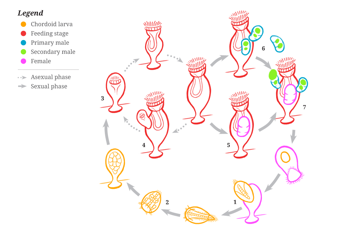 The life cycle of symbions