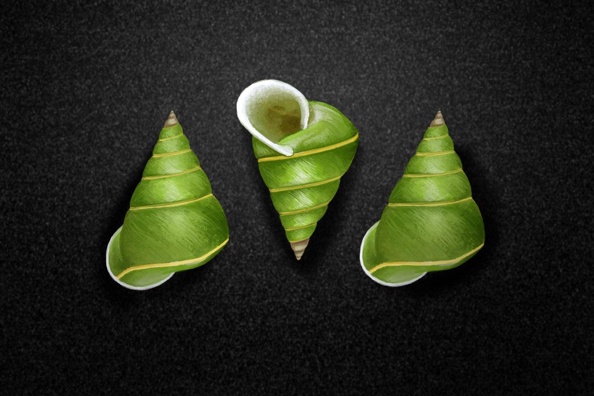 The Manus green tree snail, Papustyla pulcherrima