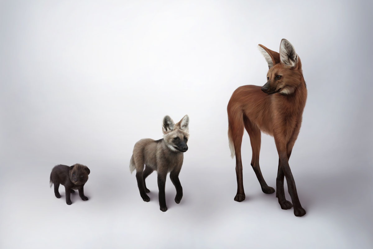 Maned wolf baby, sub-adult, and adult