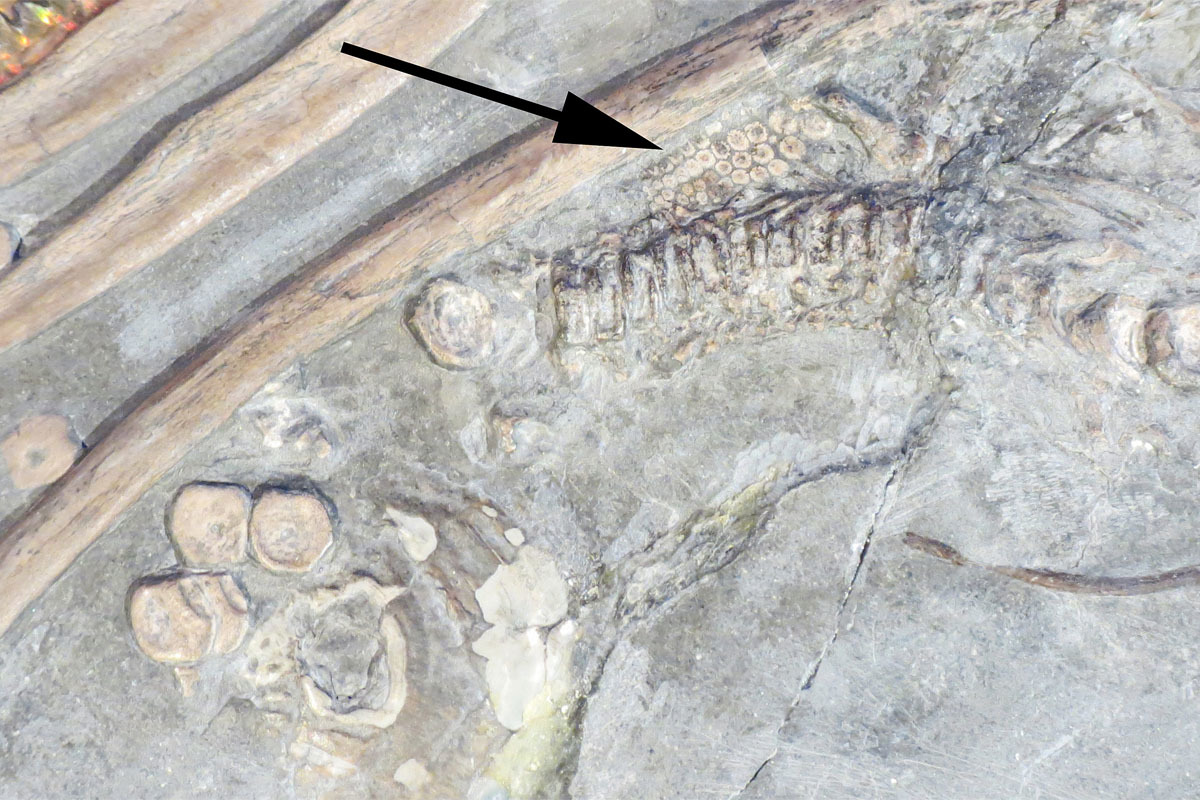 The preserved immature skeleton of the embryonic ichthyosaur