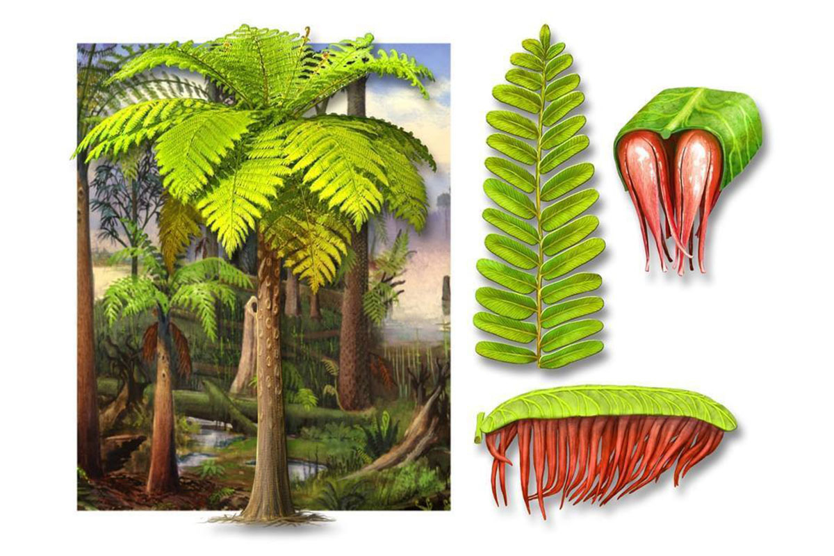 Artistic reconstruction of the new species, Acitheca murphyi
