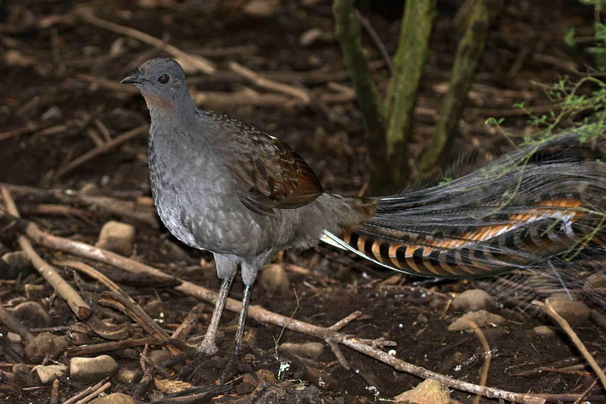 Superb Lyrebird (Menura novaehollandiae) in Victoria, Australia