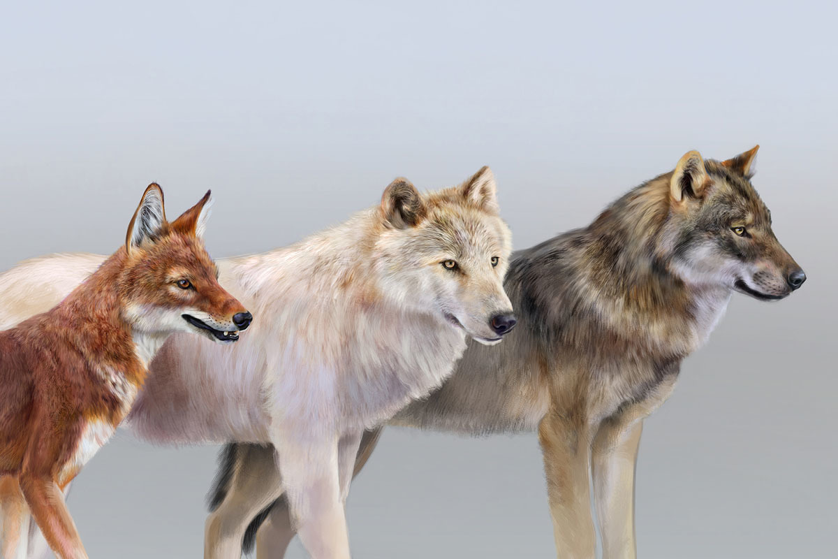 Ethiopian wolf, tundra wolf, and gray wolf