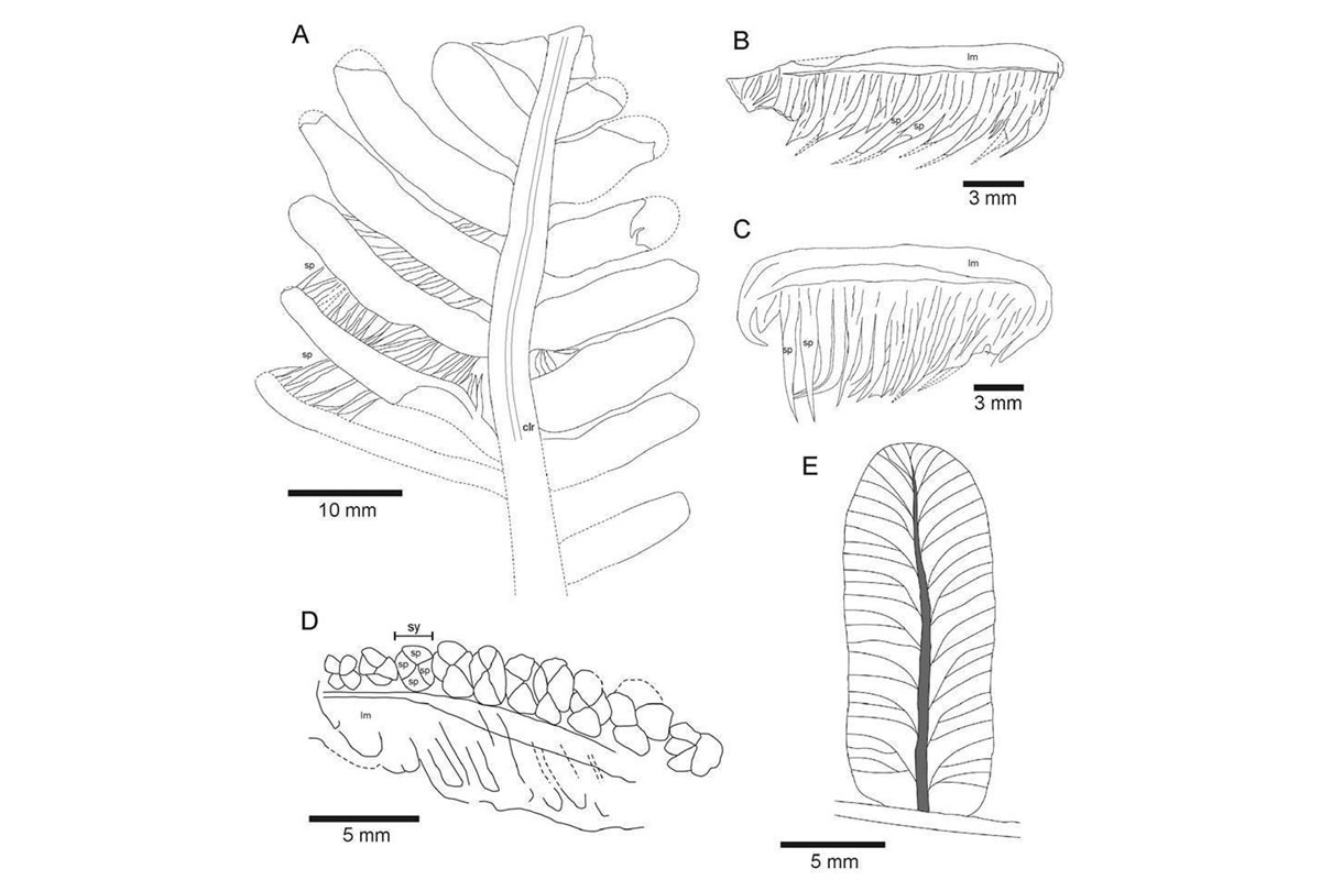 Interpretive drawings of main fossil specimens showing the long sporangia hanging from the leaves (B & C)