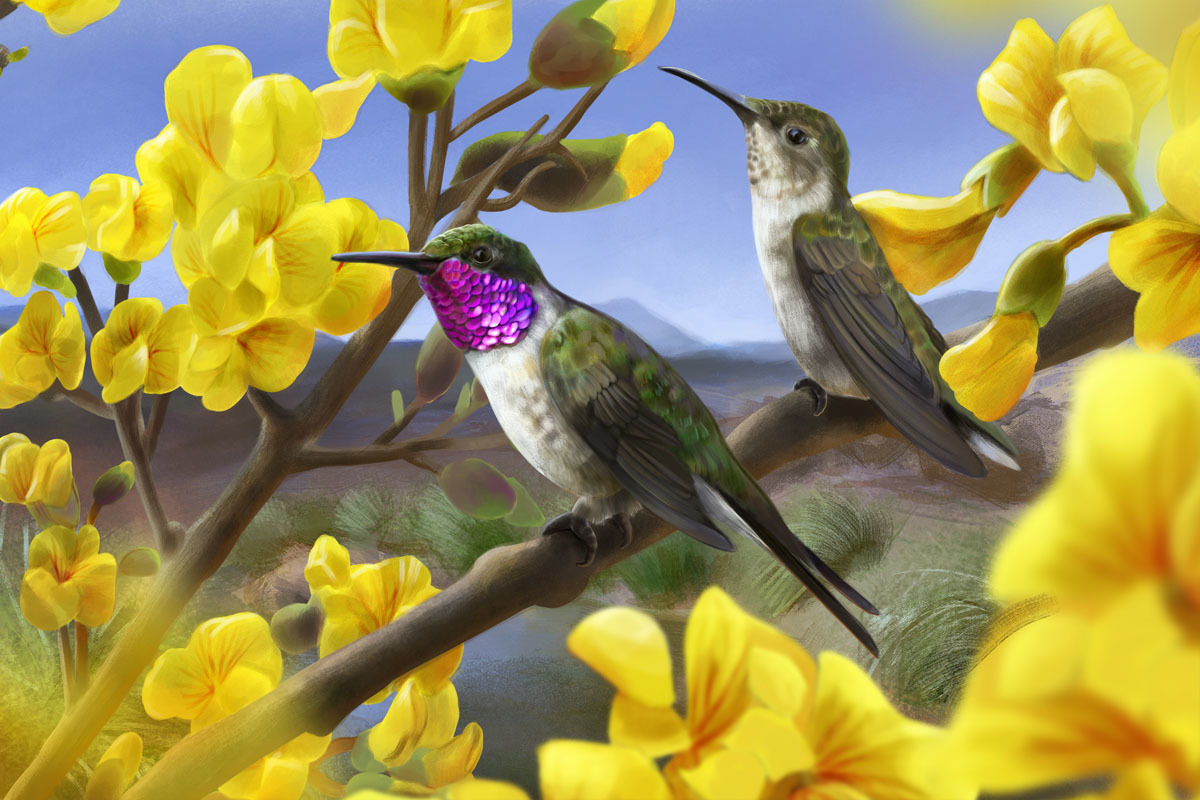 An artist's reconstruction of a Chilean Woodstar pair