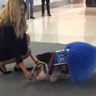 LiLou the 'therapy pig' made her debut at San Francisco International Airport Monday, providing a much-needed diversion for travelers during the traditionally-busy holiday season.