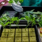 Vegetative specialist Lavorisa McGary propagates marijuana clones at ButterBrand farms in San Francisco, California, on Monday, Oct. 31, 2016. | By Gabrielle Lurie