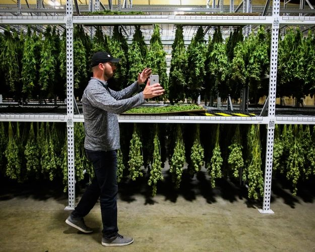 Supervisor Dale Ramos harvests plants to be processed at Butterbrand Farms on Friday, August 18, 2017, in San Francisco, Calif. SOURCE: Liz Hafalia