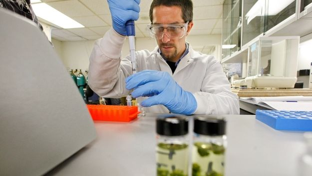 Technician Mark Raber prepares marijuana samples to be analyzed for potency and purity at the Werc Shop on December 16, 2011. (Mel Melcon/Los Angeles Times) SOURCE: Mel Melcon