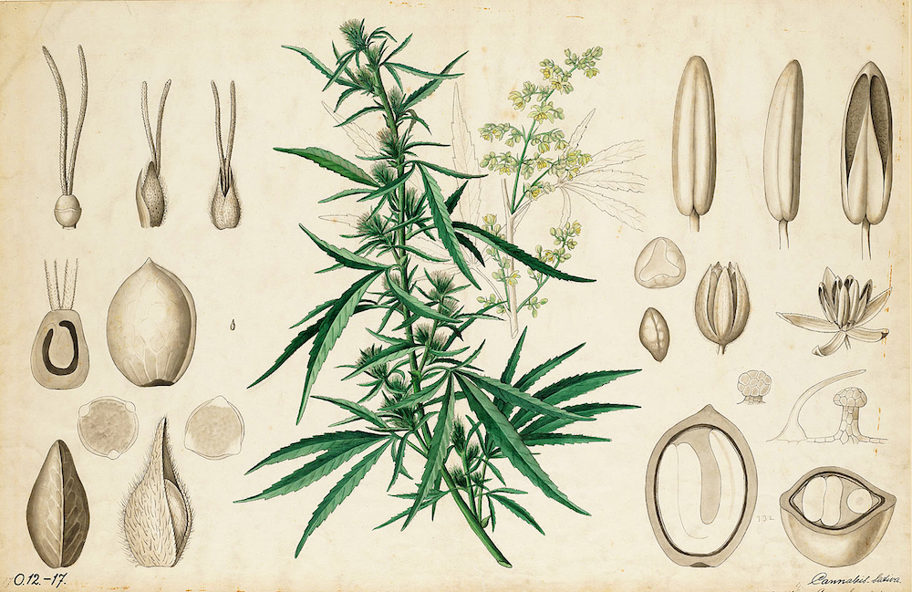 cannabis research at uc berkeley