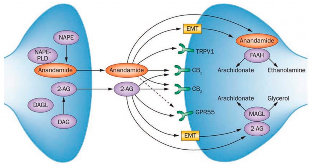 A diagram of the endocannabinoid system of receptors (cb1) and endocannabinoids (2AG). From the journal Metabolites 2017.