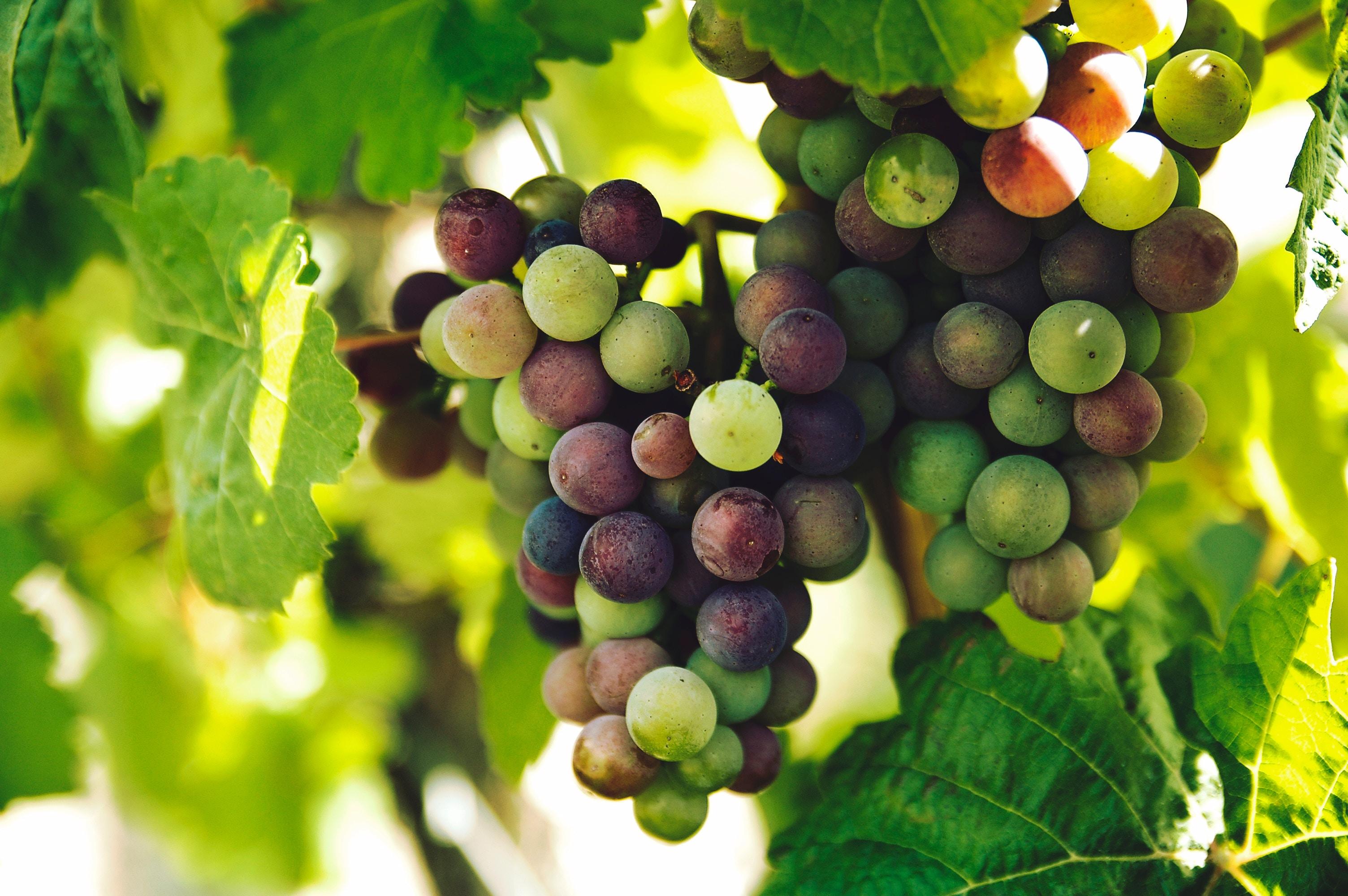grapes, byington
