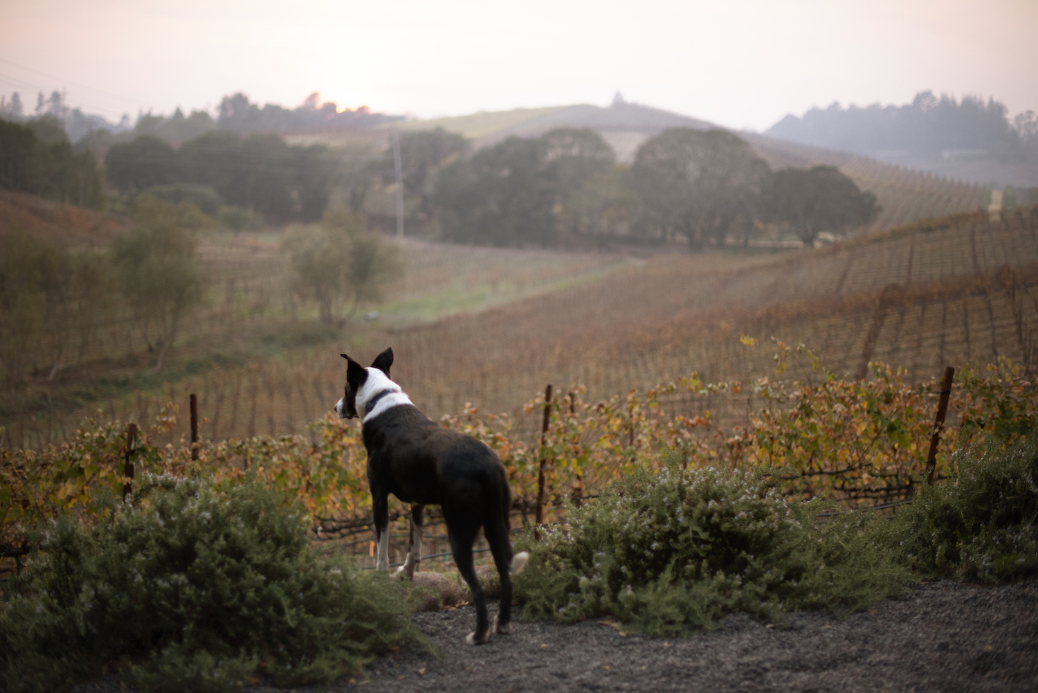Pinot, Pinot Noir, Littorai, biodynamic farming, winery dog, Sonoma County, Sonoma, California, Wine Country, The Press