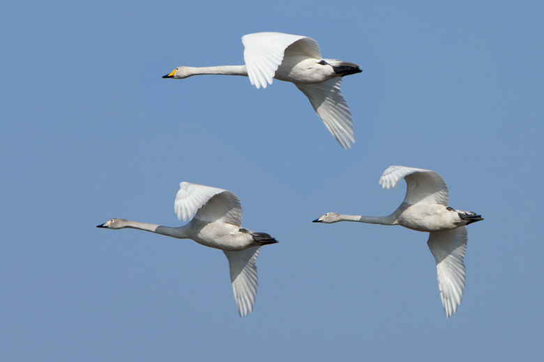 Stanford Engineers Find Secret To Steady Drone Cameras In Swans