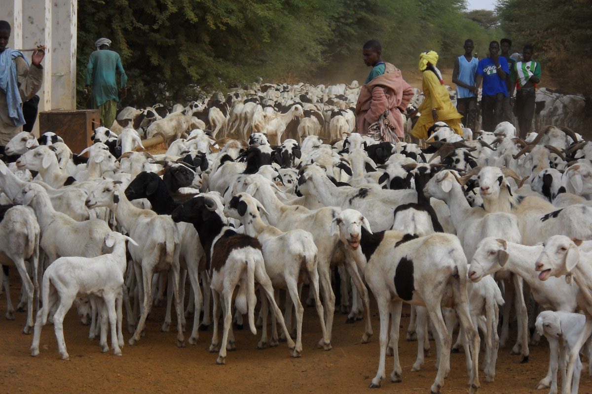 herding goats in rural Senegal