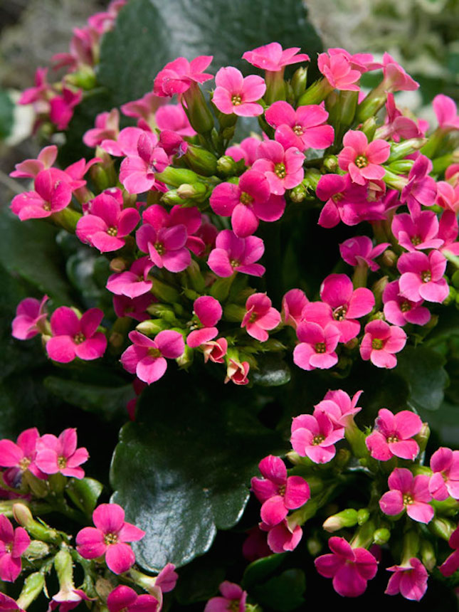 Plant with little pink flowers images flower decoration ideas plant with little pink flowers image collections flower decoration house plant pink flowers choice image flower mightylinksfo