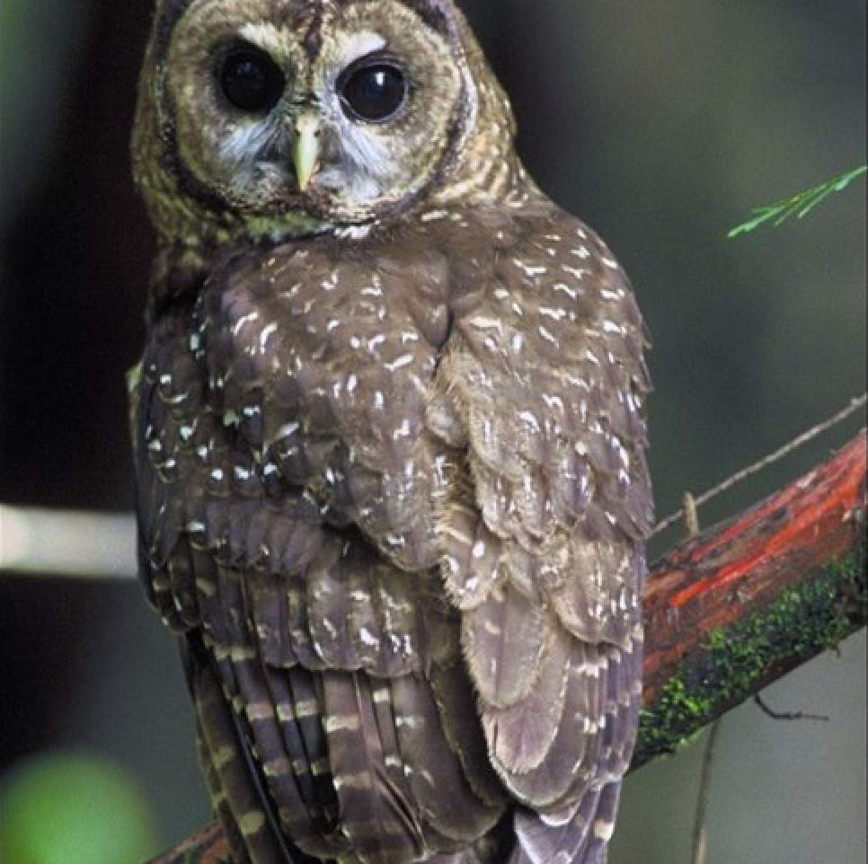 Spotted-Owl-WAM.png
