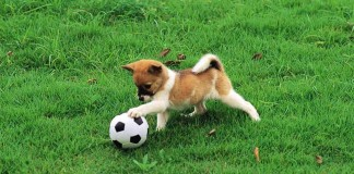 puppy playing soccer