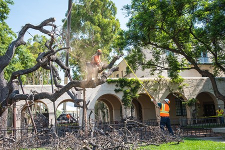 Workers salvage portions of the oak for research and other uses.