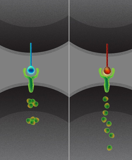 Artist's concept of a cell expressing the Delta1 ligand (left) and a cell expressing the Delta4 ligand (right). While these two ligands activate cellular receptors in the same way, they do so in different patterns over time.