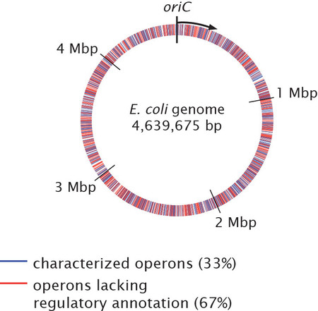 The circular E. coli genome. Sets of genes, or operons, which lack regulatory understanding are shown in red.