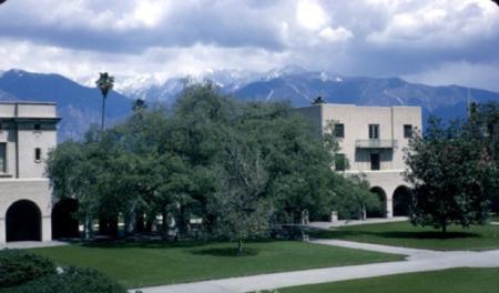 The Engelmann oak as it appeared in 1965.