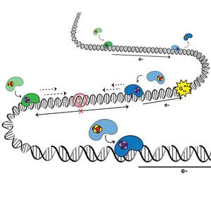 "Cartoon of ""DNA chart transport"""