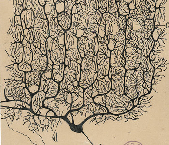 An ink drawing of a Purkinje cell with a complex tangle of branches. It appears on aged, yellowed paper.