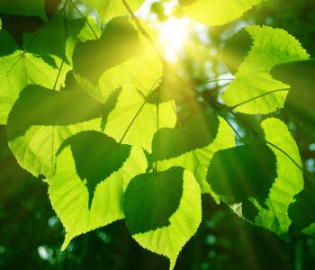 Sun shining through a leaf