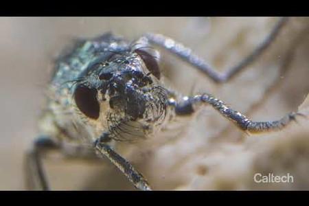 Superhydrophobic Diving Flies of Mono Lake
