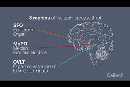 How the Brain Regulates Thirst