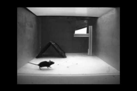 Example of mouse fleeing upon viewing the looming disk stimulus above.