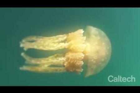 Self-Repair in Jellyfish - Goentoro Lab at Caltech