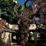 photo of Caltech's Engelmann oak tree