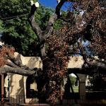 photo of Caltech's Engelmann oak tree