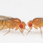 photo of two fruit flies facing each other