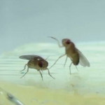 photo of two fruit flies
