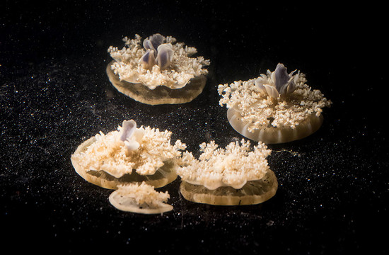 photo of multiple Cassiopea jellyfish on the bottom of a tank