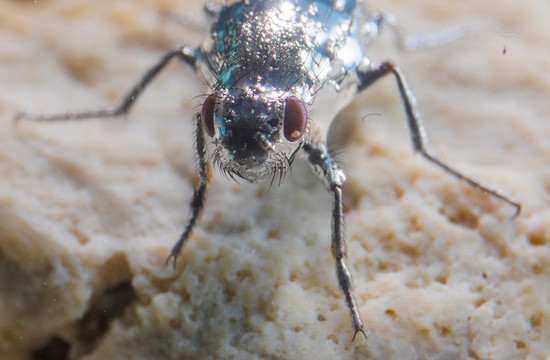 photo of an alkali fly staying dry underwater in Mono Lake