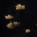 Multiple Cassiopea jellyfish.