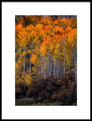 Buy this art print titled Aspen Amp Scrub Oak by the artist Rob Corkran