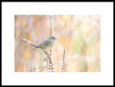 Buy this art print titled Green Finch by the artist erik willaert