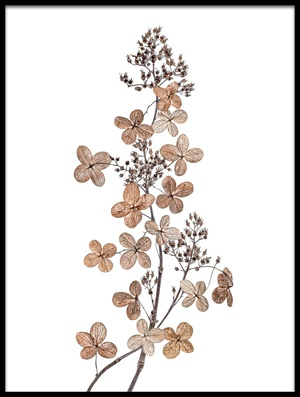 Buy this art print titled Hydrangea Paniculata by the artist Mandy Disher