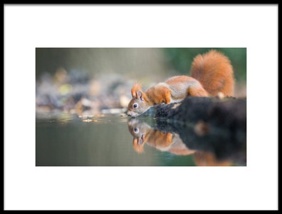 Buy this art print titled Red Squirrel by the artist erik willaert