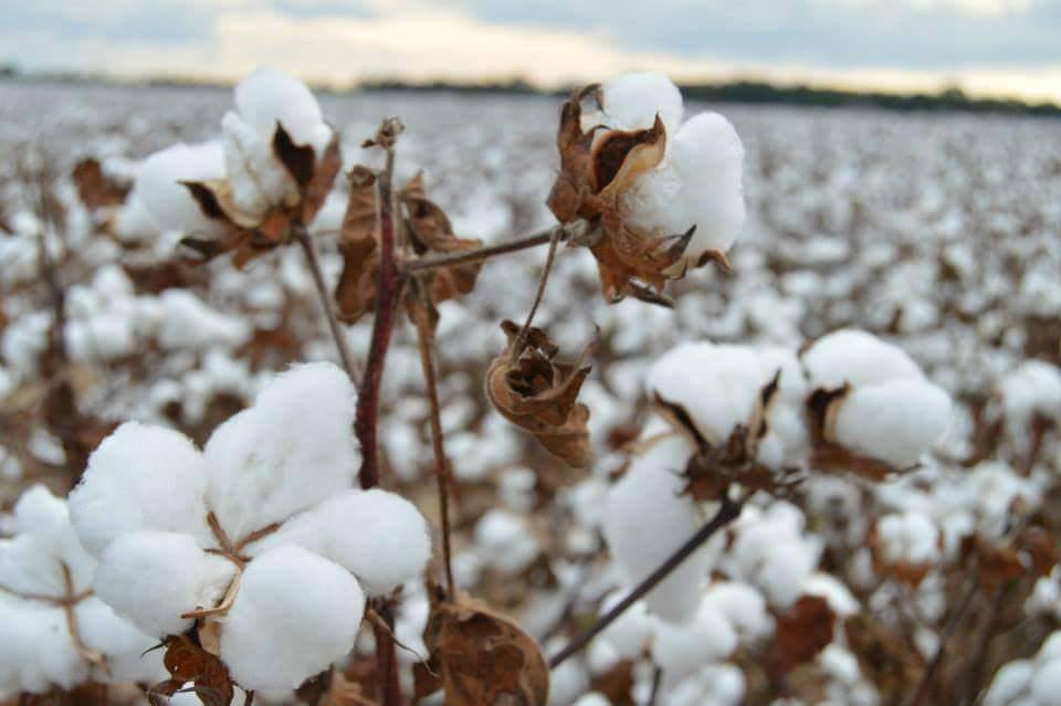 Blooming cotton in Claiborne County, Mississippi / Denise Powell